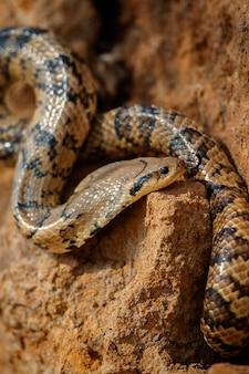 자연 서식지에서 야생 뱀을 닫습니다.