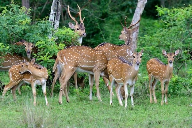 スリランカのヤラ国立公園の野生の斑点のある鹿