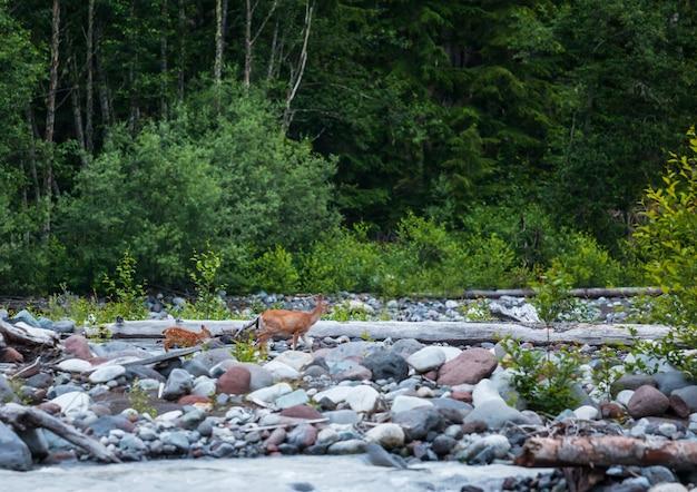 野生の斑点のある鹿が川に沿って行く、ワシントン州、米国
