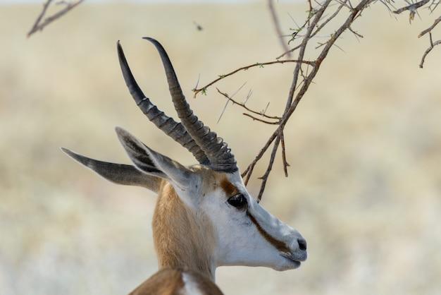 アフリカのサバンナで野生のスプリングボックアンテロープの肖像画をクローズアップ