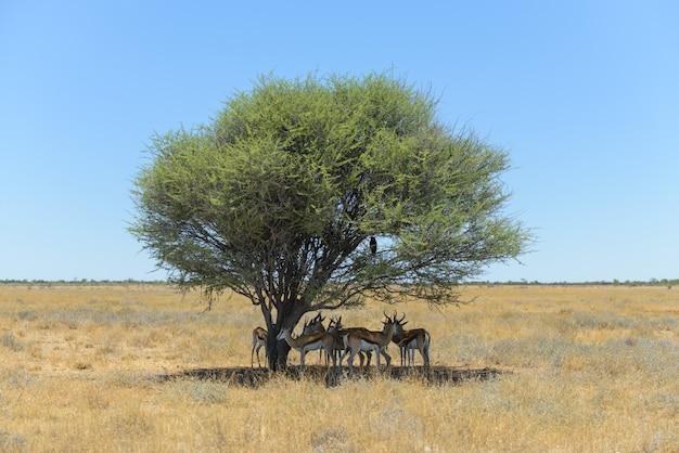 アフリカのサバンナの木の下で野生のスプリングボックアンテロープ