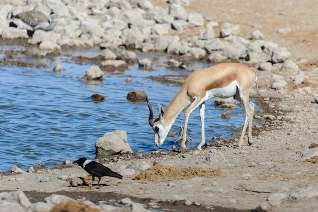 アフリカのサバンナの野生スプリングボックアンテロープ