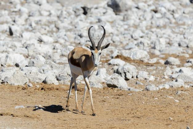 Дикие спрингбокские антилопы в африканской саванне