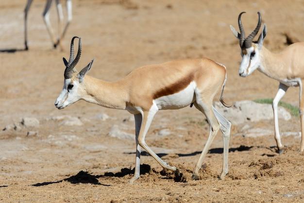 アフリカのサバンナの野生のスプリングボックアンテロープ