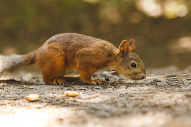 숲에서 먹는 야생 다람쥐