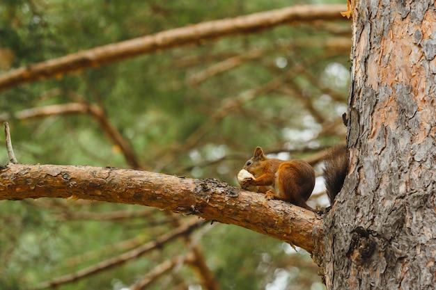 숲에서 나무에 먹는 야생 다람쥐