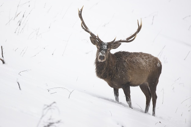Wild stag with antlers standing on side of a hill in winter