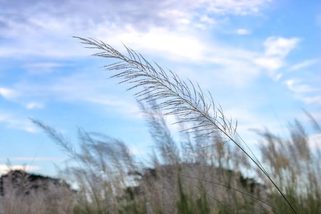 야생 stipa 깃털 잔디 흰 꽃은 깨끗 한 푸른 하늘 아래 닫습니다