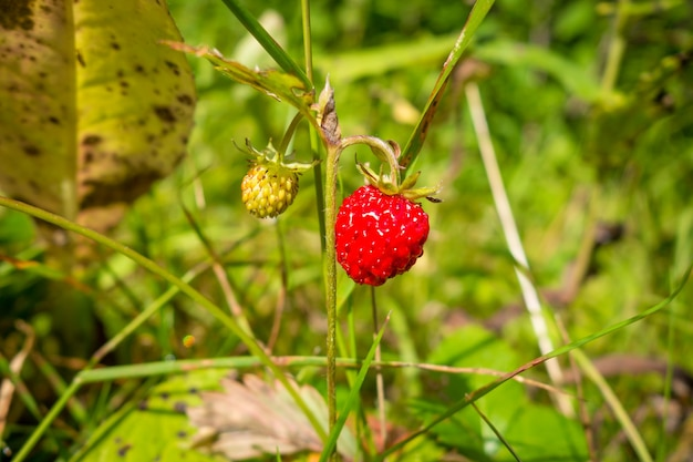 Wild strawberries in a forest. closeup detail