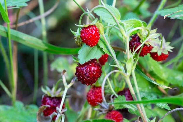 Куст одичалой клубники в пуще. красная ягода клубники и белые цветы на диком лугу, крупным планом