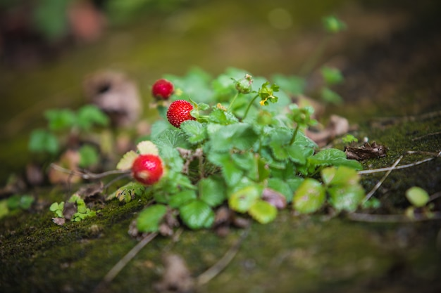 Wild strawberry plant with green leafs and red fruit