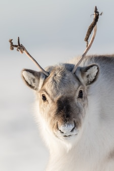 Wild svalbard reindeer, rangifer tarandus platyrhynchus, portrait of a curios animal with small antlers in svalbard, norway.