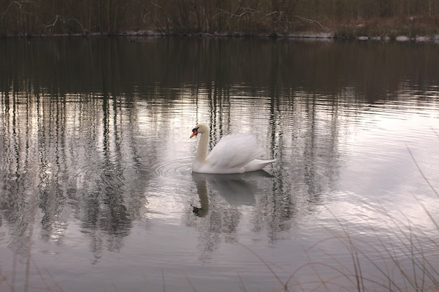 Wild swan mute on its lake in france.