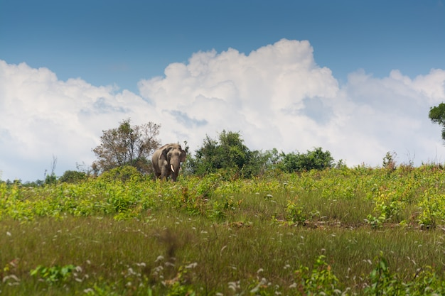 Wild thai elephant walking over grass field under blue sky