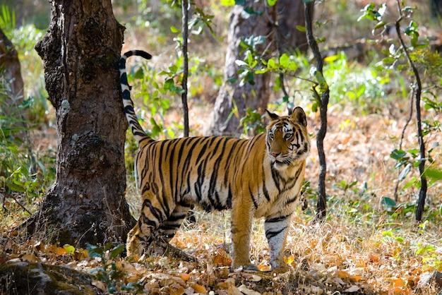 정글 인도 bandhavgarh 국립 공원에서 야생 호랑이