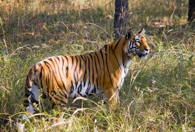 정글에서 야생 호랑이. 인도.