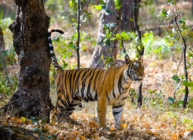 Wild tiger in the jungle india bandhavgarh national park