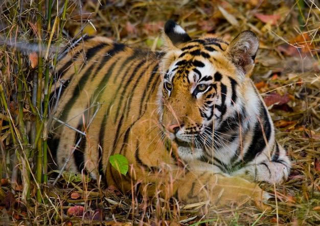 Wild tiger lying on the grass india bandhavgarh national park
