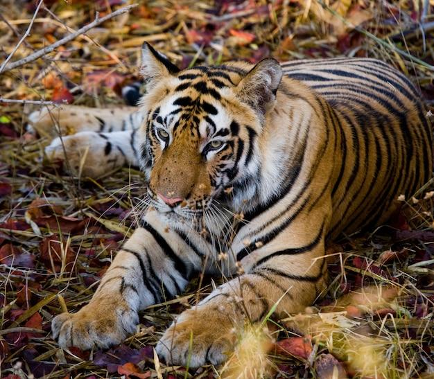 잔디 인도 bandhavgarh 국립 공원에 누워 야생 호랑이