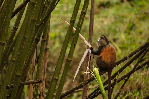 Wild and very rare golden monkey in the bamboo forest