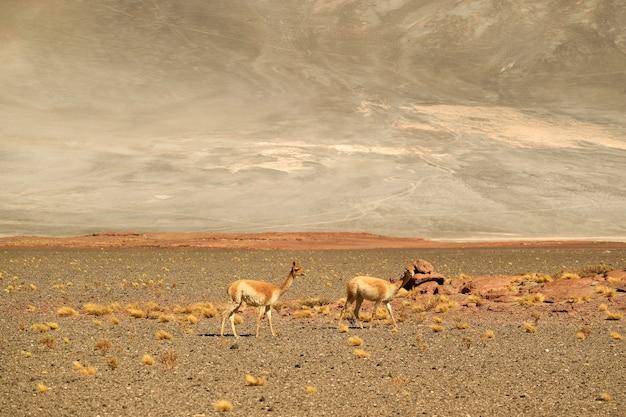 Дикие викуньи, пасущиеся в засушливой пустыне национального заповедника лос-фламенкос на севере чили
