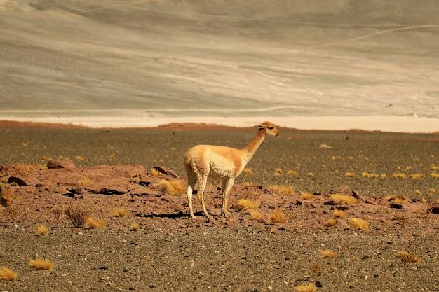 Дикая викунья в пустыне