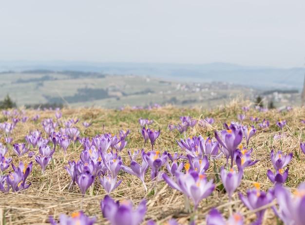 Wild violet croci or crocus sativus in early spring. alpine crocuses blossom in mountains. spring landscape