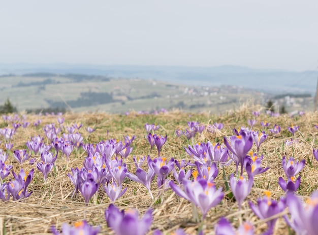 野生のバイオレットクロチまたは早春のクロッカスサティバス。山の高山クロッカスの花。春の風景