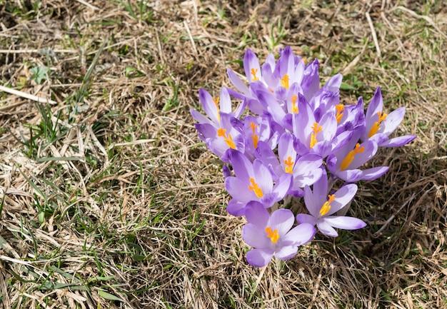 春先の野生のバイオレットクロッカスまたはクロッカスサティバス。山の高山クロッカスの花。春の風景