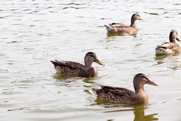 Дикие водоплавающие птицы на территории озер, утки в естественной среде, дикие утки во время отдыха и охоты.