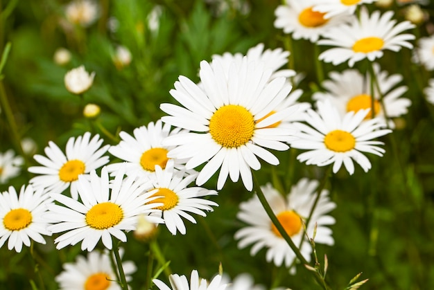 The wild white daisies growing in a field. small depth of sharpness