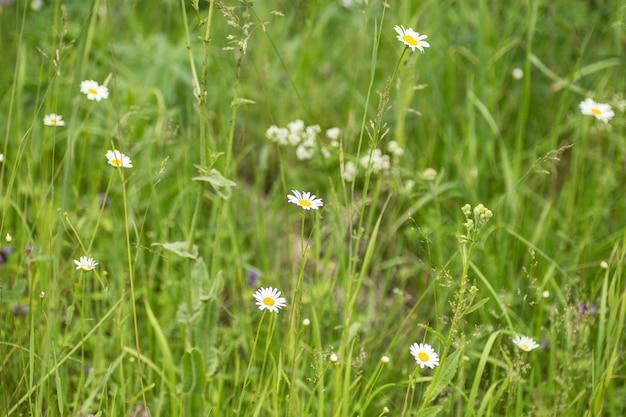 Дикие белые маргаритки в поле летом.