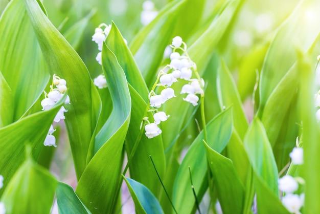 森の中の谷の野生の白い花ユリ、マクロクローズアップ