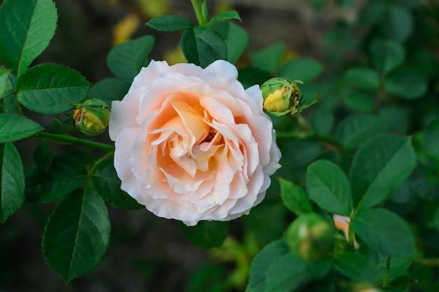 Wild white pink rose flower