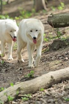 Дикий белый волк в лесу