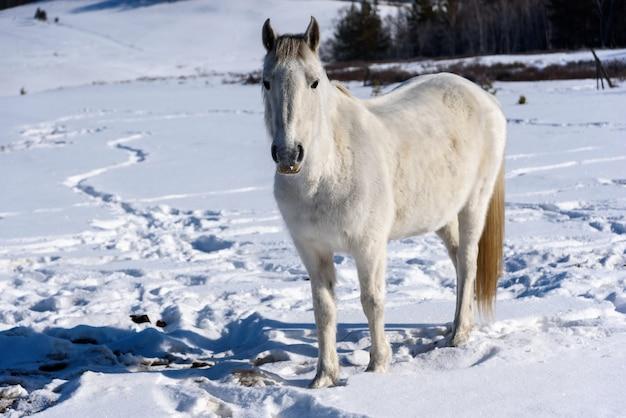 Дикая дикая лошадь стоит на дороге и смотрит в камеру в зимний солнечный день