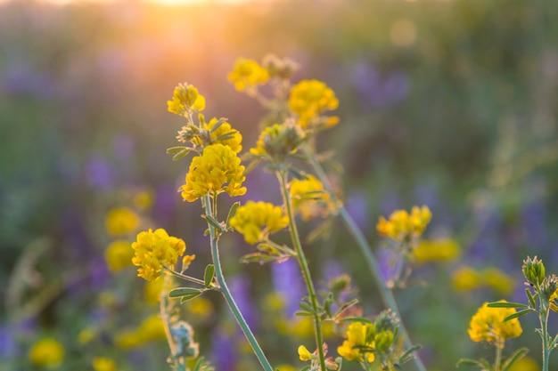 흐린 배경, 선택적 초점에 햇볕이 잘 드는 풀밭에서 야생 노란색 파란색 꽃
