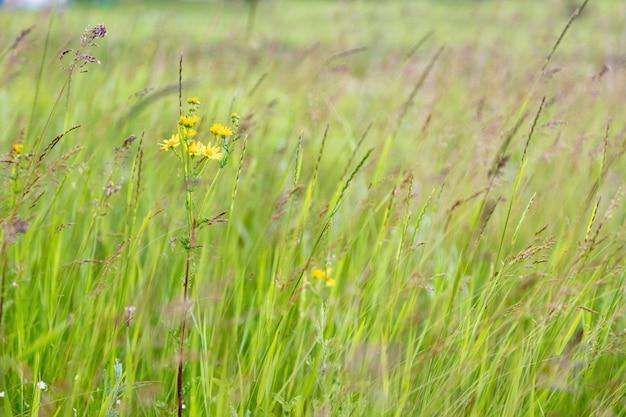 야생 노란 꽃 꽃과 초원에 푸른 잔디