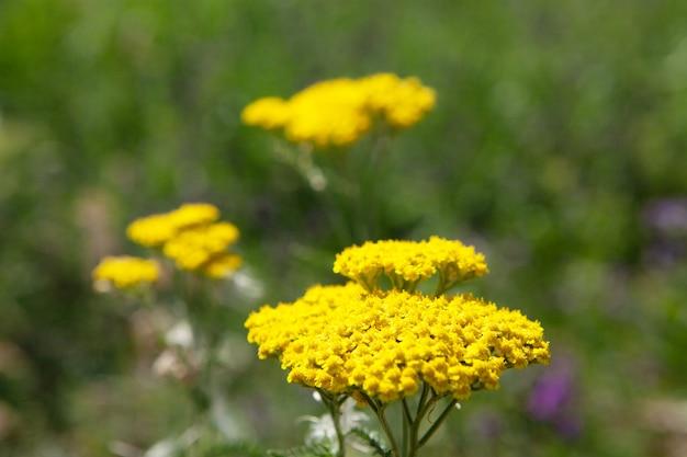 그린 필드에 야생 노란 꽃