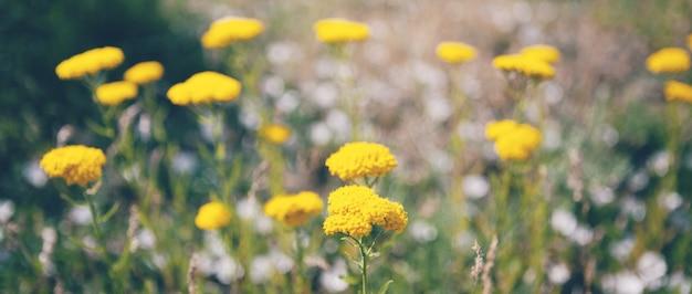 필드에 야생 노란 꽃