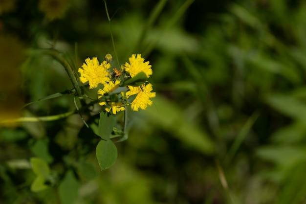 Дикие желтые цветы в поле сухая трава вокруг в солнечный день