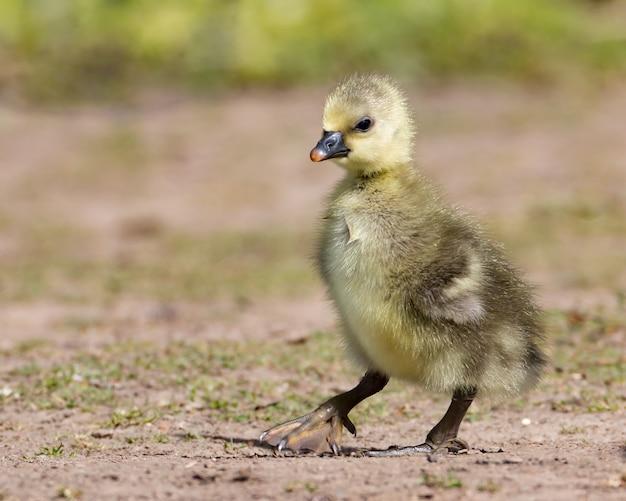 Дикий желтый серый гусенок - первые шаги