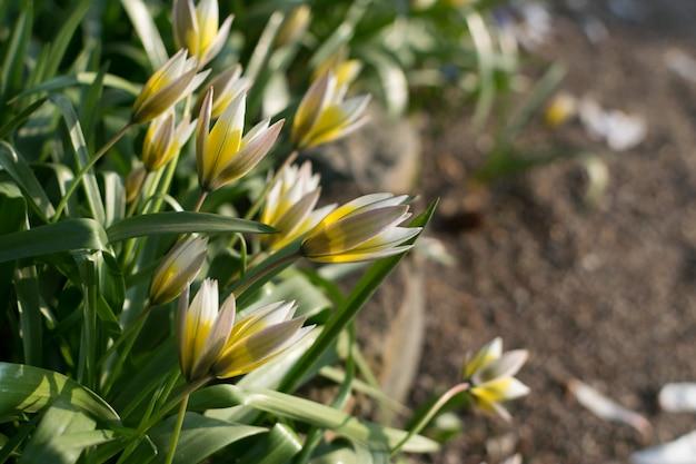Дикий желтый цветок тюльпана или цветущий тюльпан sylvestris с боке
