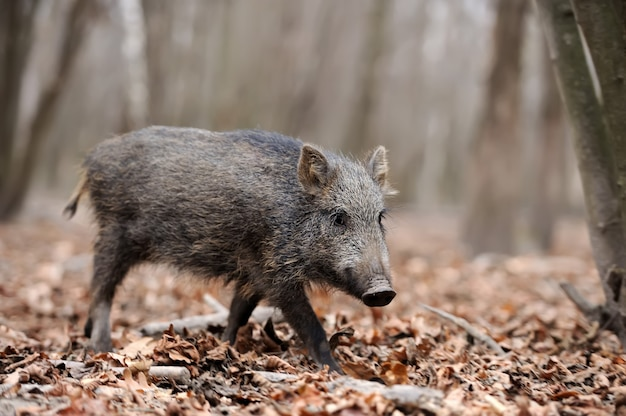 Wild young boar in autumn forest