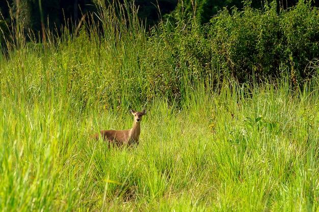 Дикие молодые лани (capreolus capreolus) в красивой весенней природе во время заката
