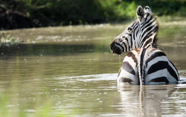 Дикая зебра в национальном парке серенгети