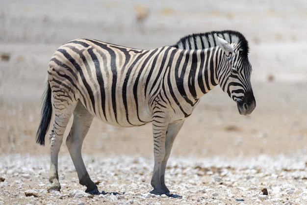 아프리카 사바나에서 걷는 야생 얼룩말을 닫습니다.