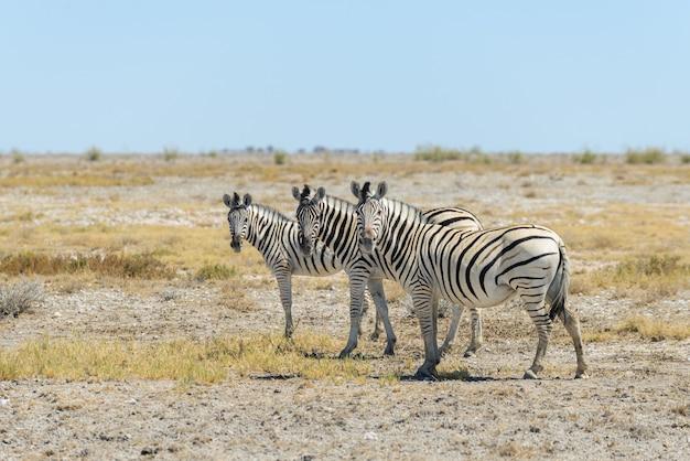 Дикая зебра гуляет в африканской саванне