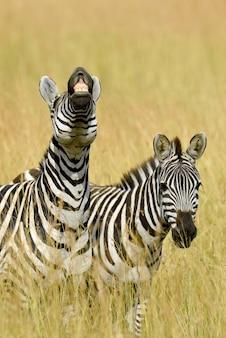 Wild zebras on natural park