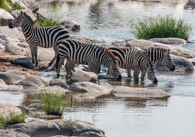 Дикие зебры в национальном парке серенгети